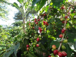 ブルボン種のコーヒーチェリー