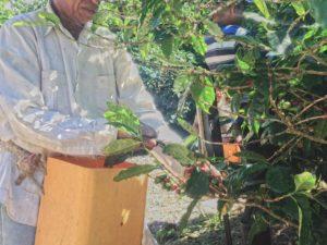 コーヒー収穫