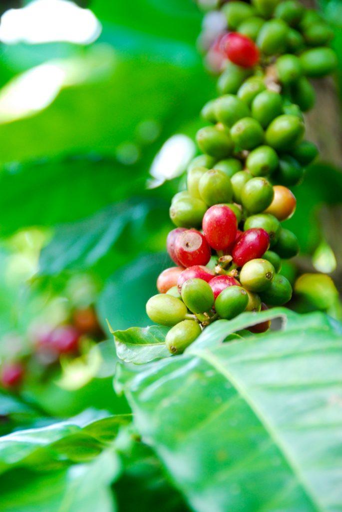 コナコーヒーの実